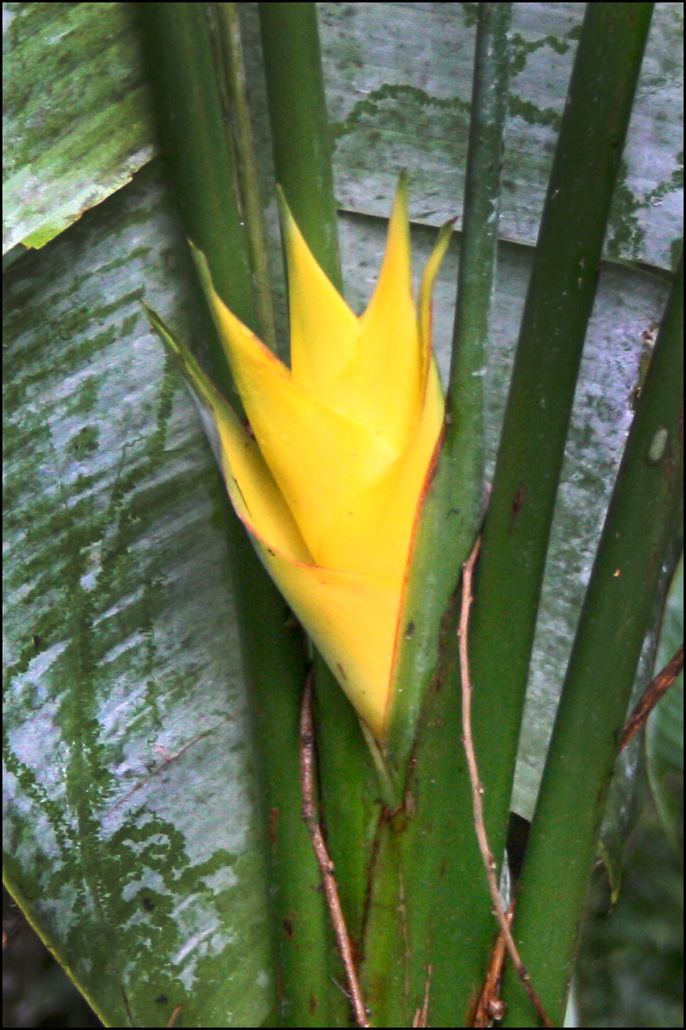 False Bird of Paradise (Heliconia bihi)