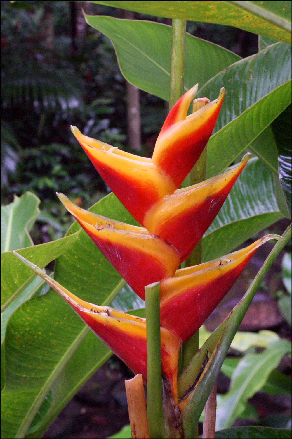 False Bird of Paradise (Heliconia wagneriana)