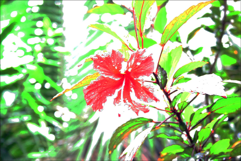 Flor de Maga (Thespesia grandiflora)