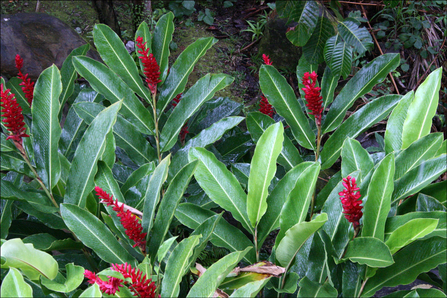 Red Ginger (Alpinia purpurata) - Detail