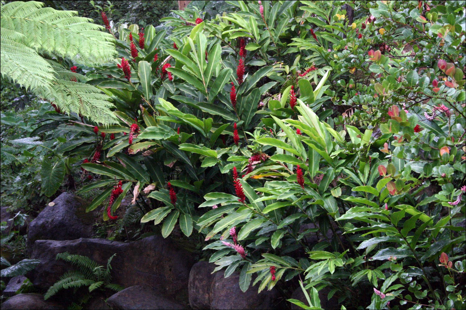 Red Ginger (Alpinia purpurata) - Habit