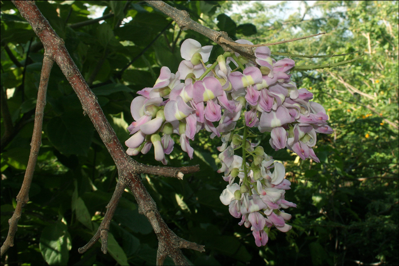 Robinia sp.