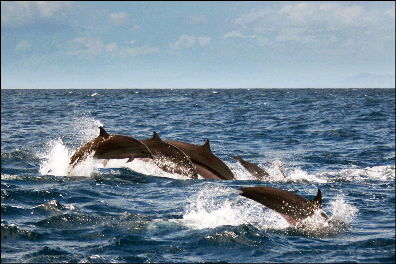 Spinner Dolphins (Stenella longirostris) - 1