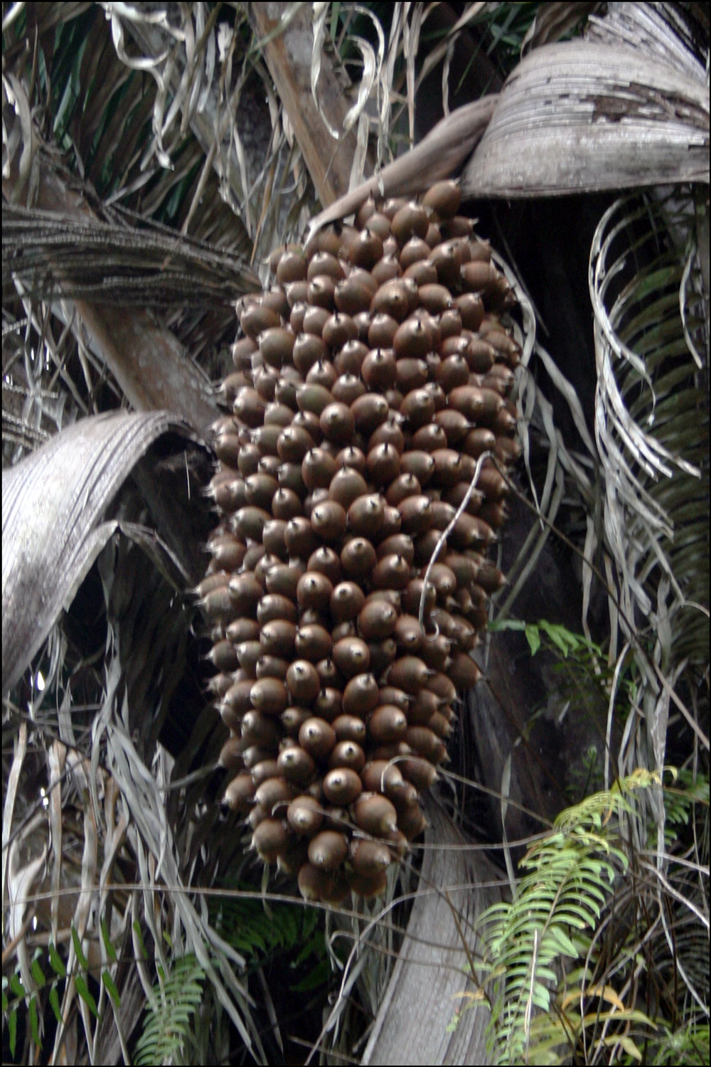 Fruits of the Cohune Palm
