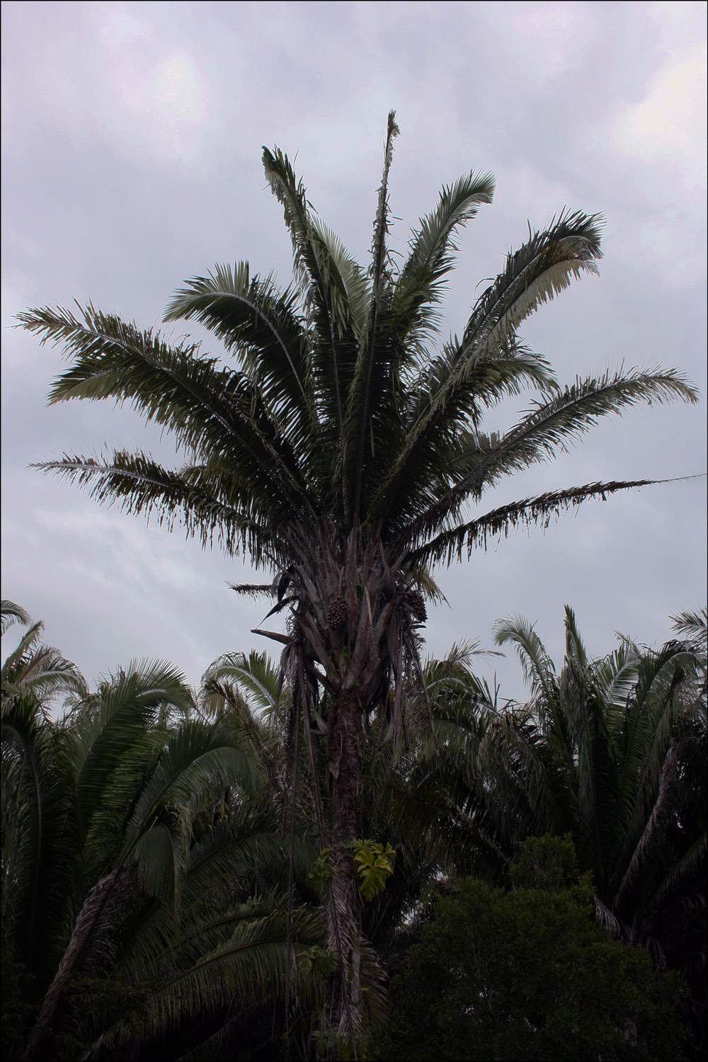 Cohune Palm (Orbignya cobune)