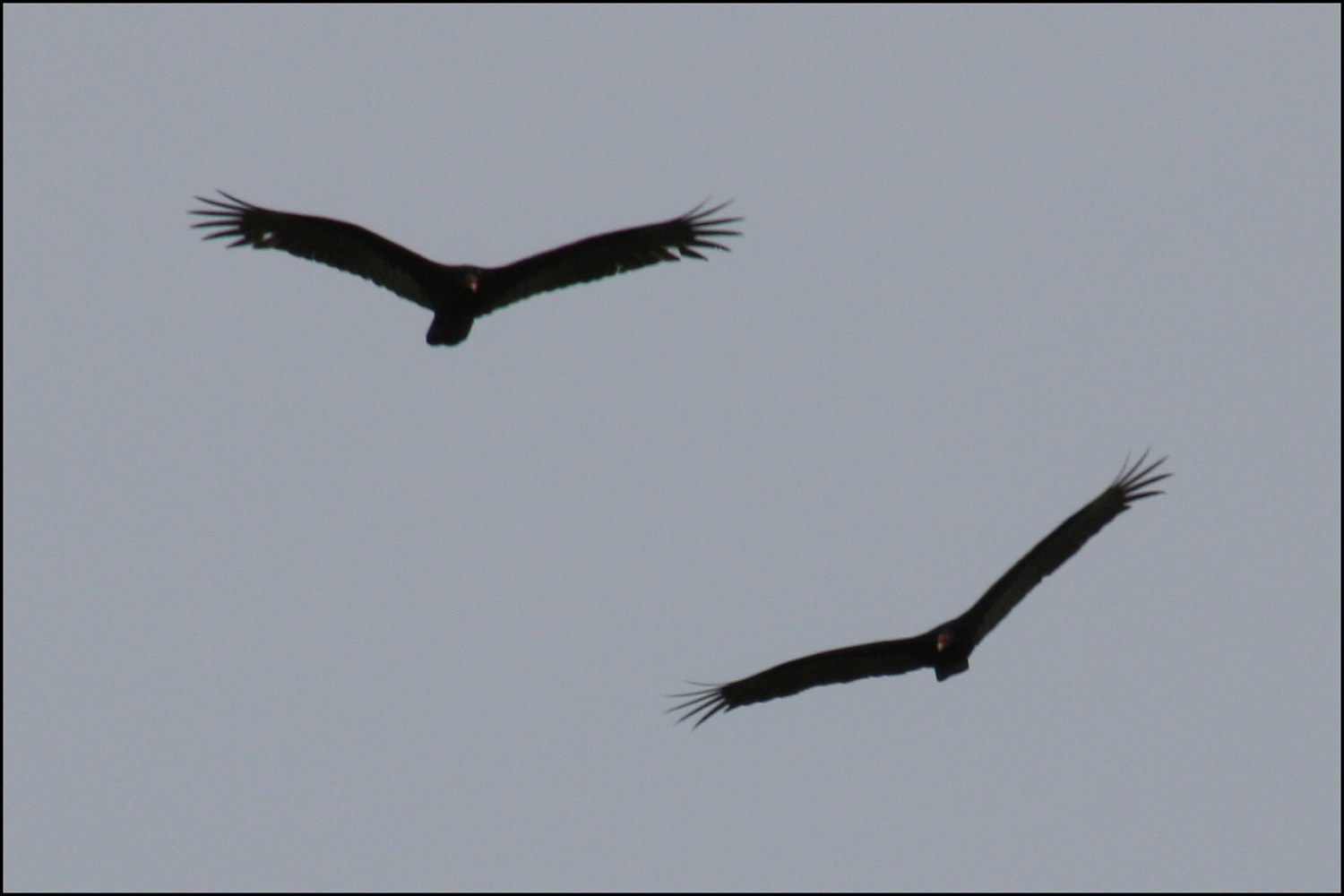 Turkey Vultures (Cathartes aura)