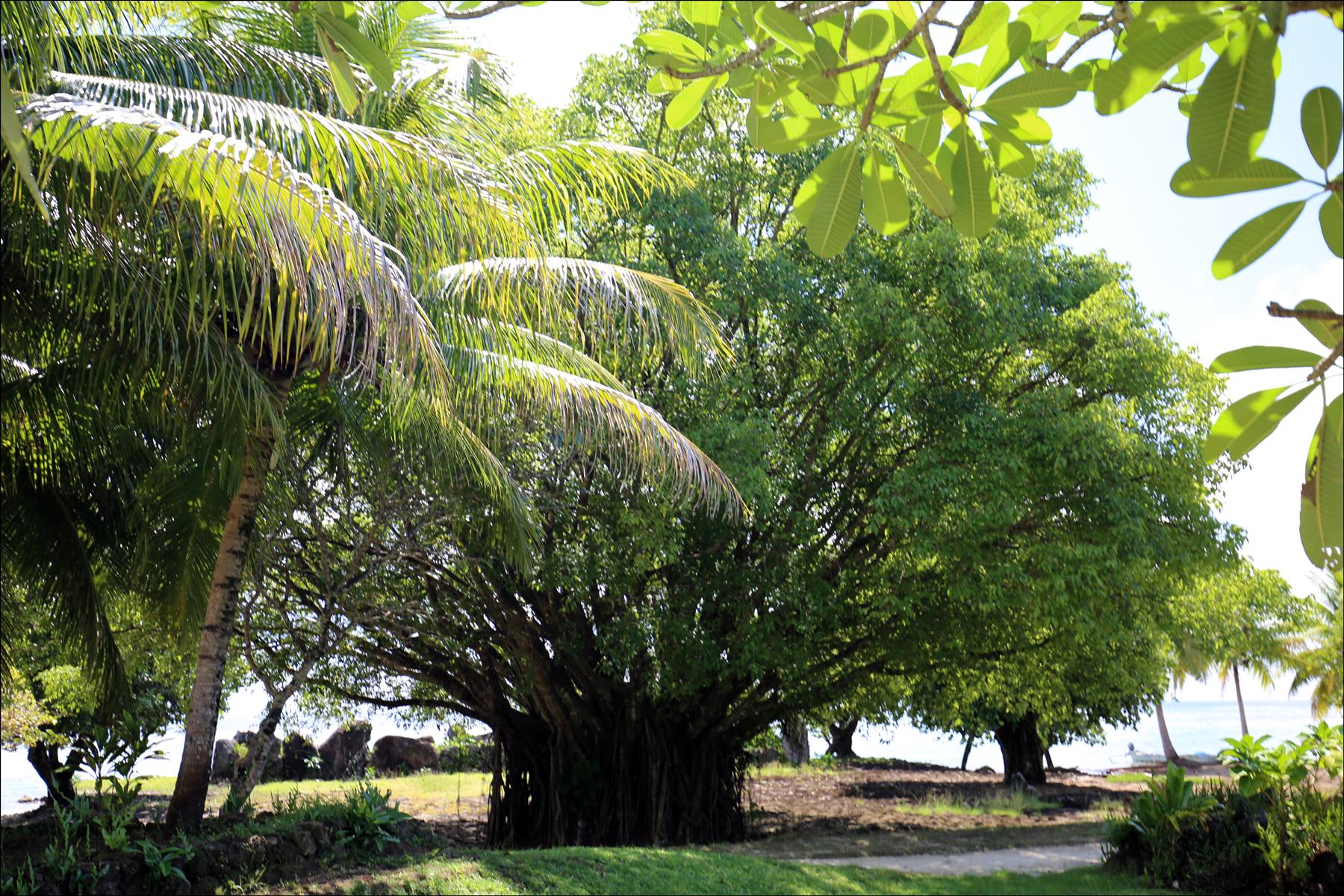 Banyan Tree (Ficus benghalensis)