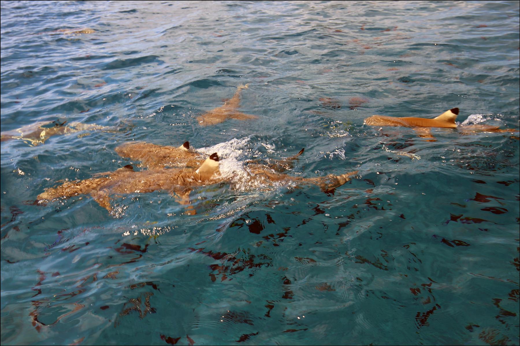 Black-Tip Reef Sharks