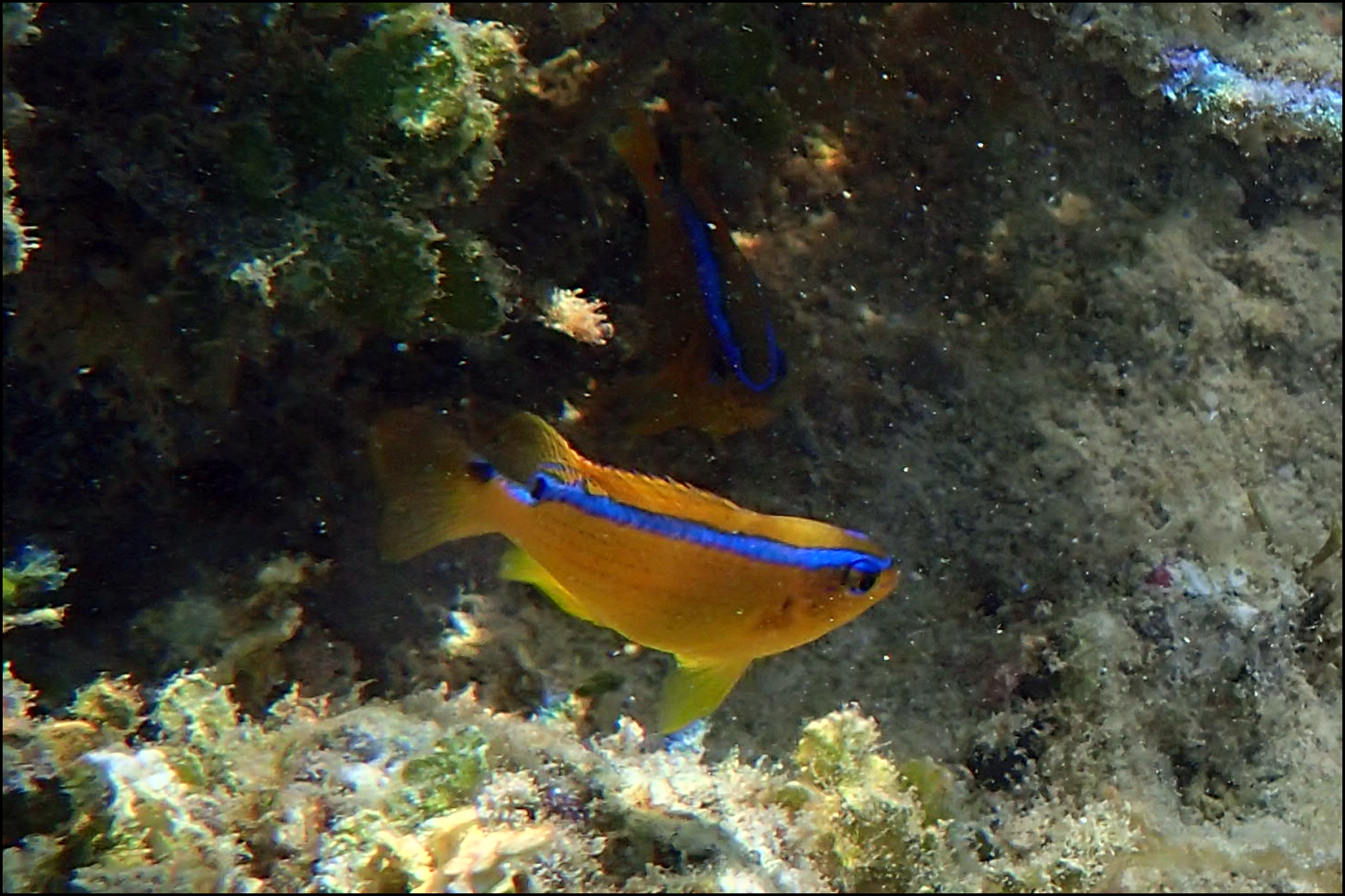 Surge Damselfish (Chrysiptera brownriggii)