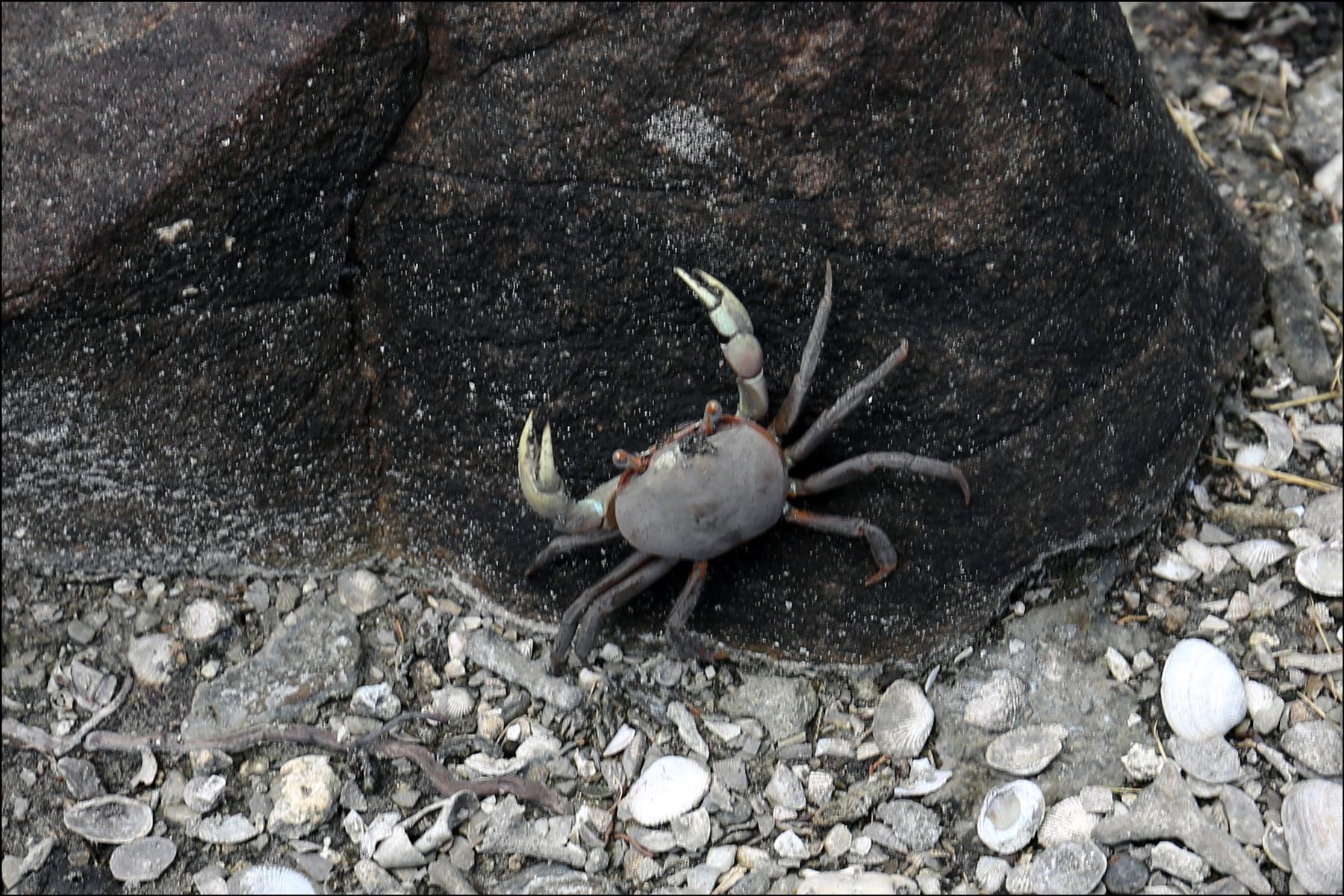 Land Crab (Cardisoma carnifex)