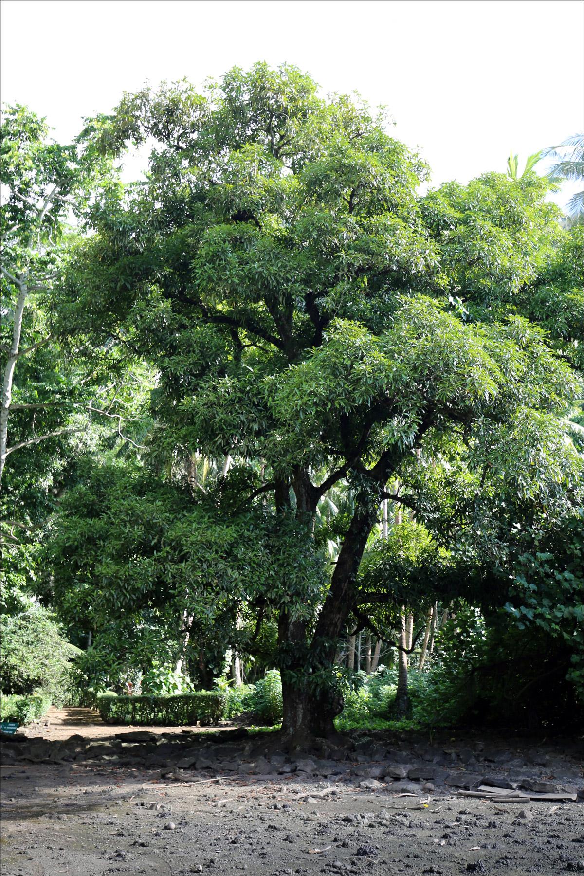 Mango Tree (Mangifera indica)