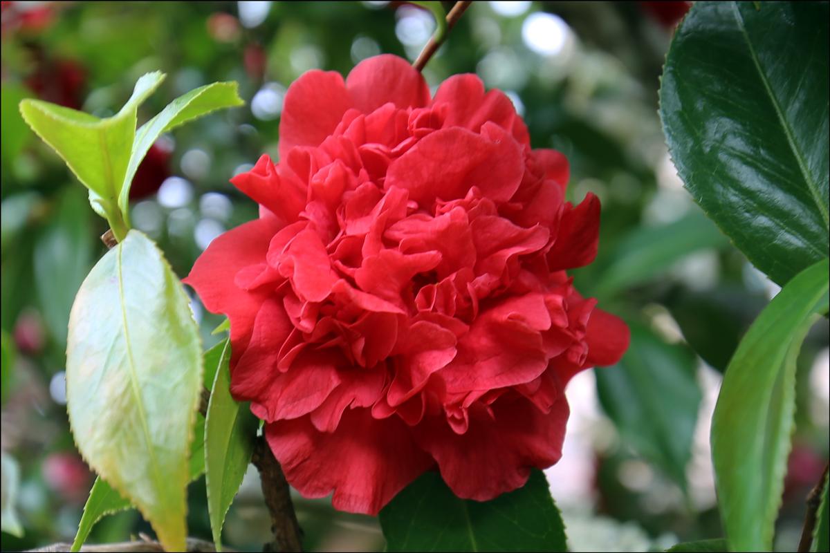 "Camellia japonica ""Are-Jishi"""
