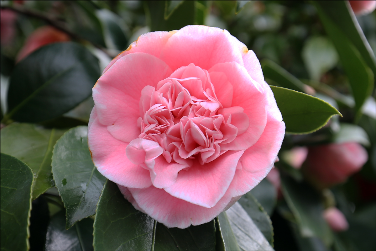 Camellia japonica 'C.M. Wilson'