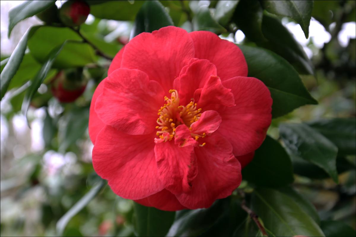 """Camellia japonica """"Captain Rawes"""""""