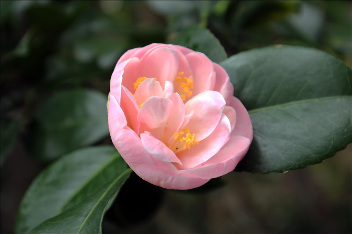 "Camellia japonica ""Cara Mia"""