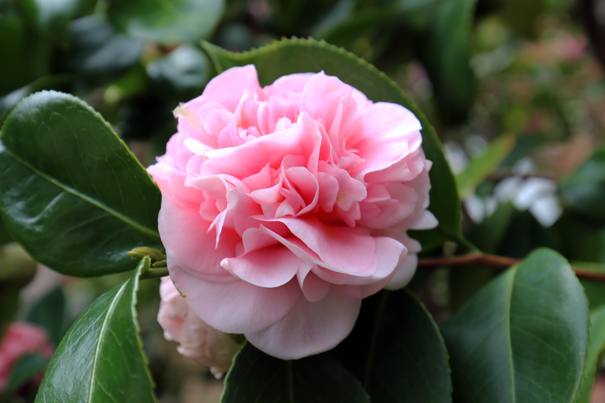 Steve 39 s genealogy blog documenting my family history on - Camellia japonica cuidados ...