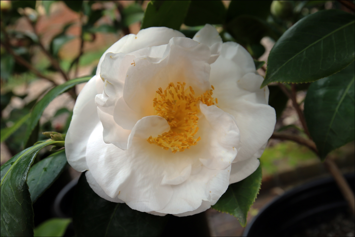 Camellia japonica 'Ecclefield'