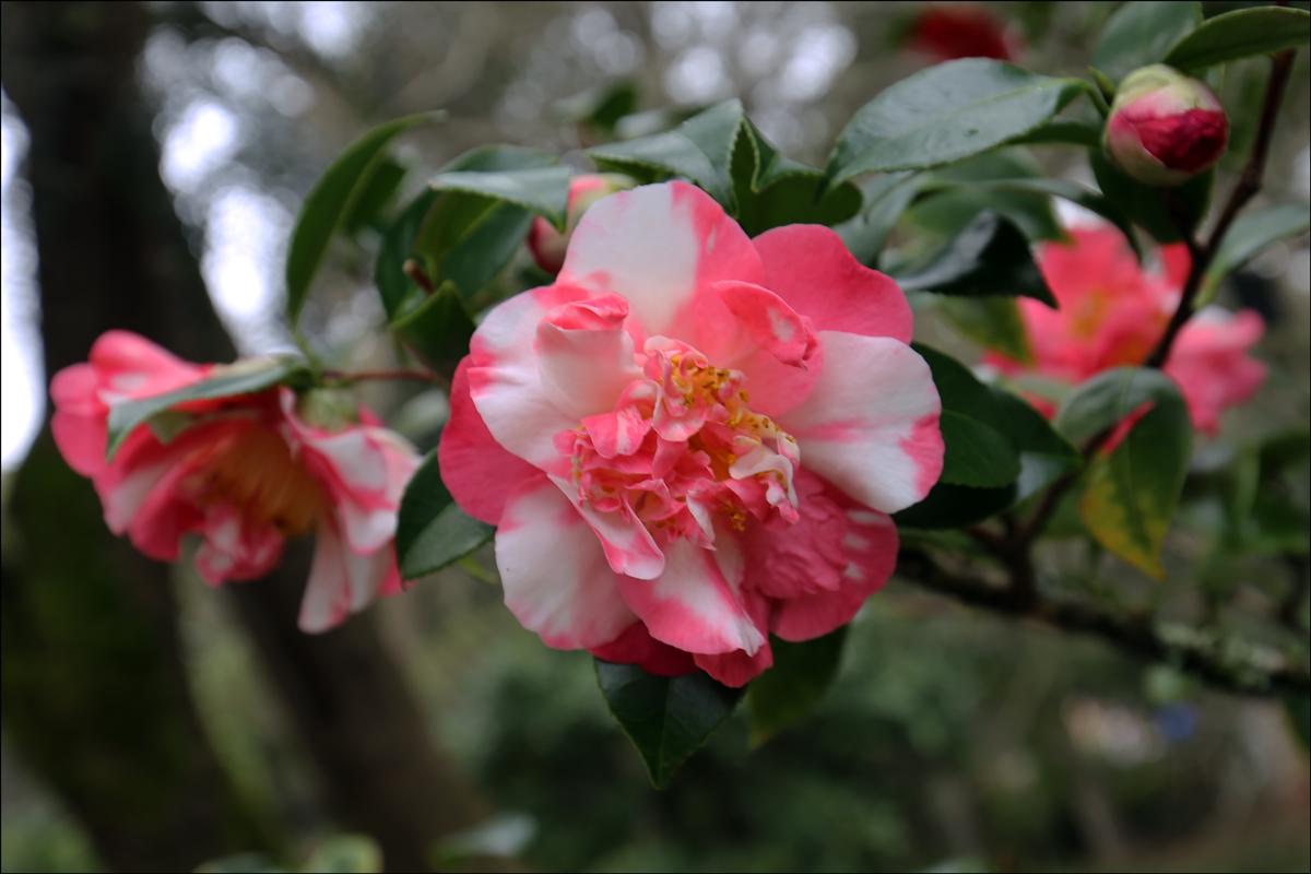 Camellia japonica 'Margaret McCown'