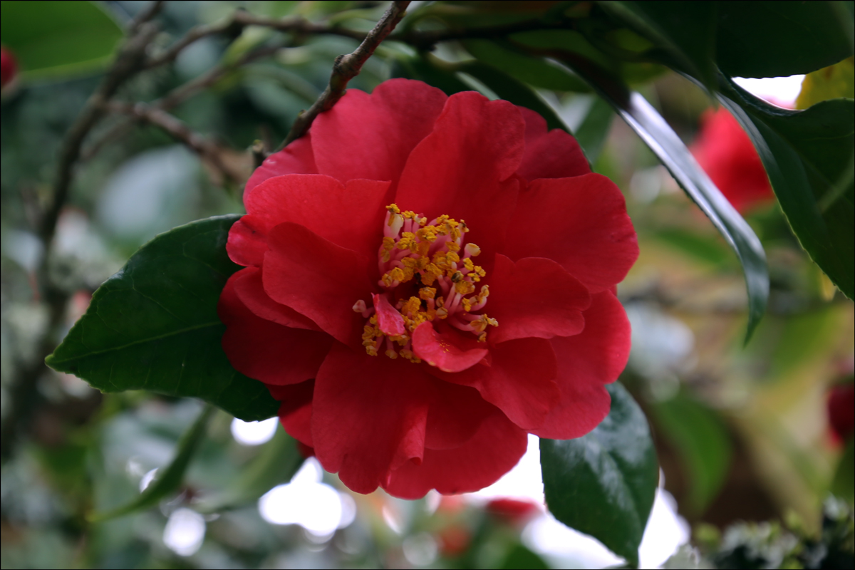 Camellia japonica 'Monjisu Red'