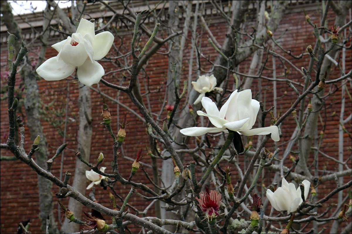 "Magnolia campbellii ""Strybing White"""