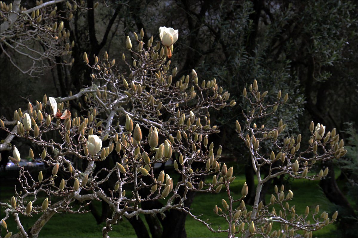 Magnolia cylindrica (Huangshan magnolia)