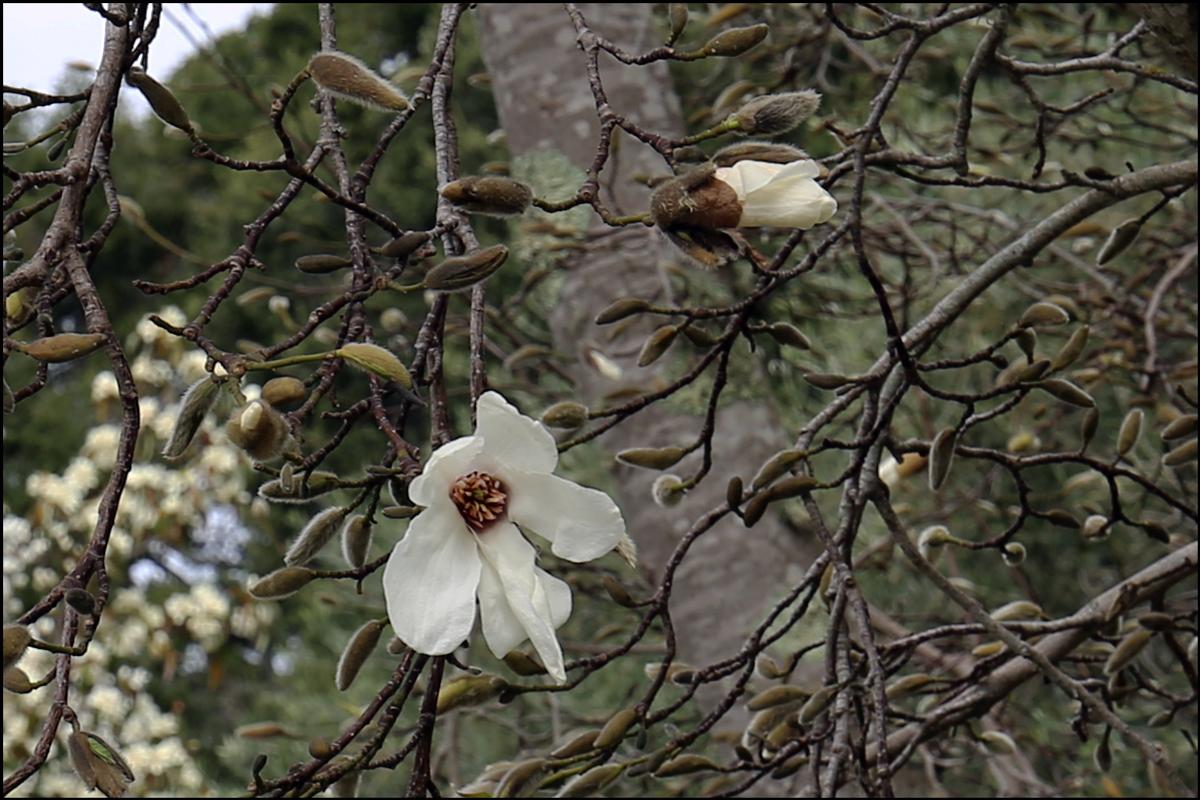 "Magnolia kobus ""Borealis"" (Kobushi Magnolia)"