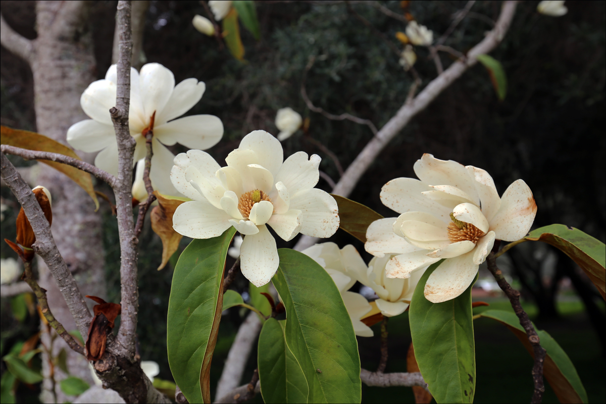 Michelia doltsopa (Sweet Michelia)